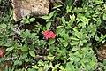 Euphorbia milii 32zz.jpg