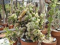 Euphorbiafrankiana.jpg