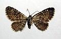 Eupithecia pygmaeata.jpg