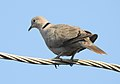 Eurasian Collared Dove Streptopelia decaocto by Dr. Raju Kasambe DSCN2357 (4).jpg
