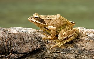 Common frog species of amphibian