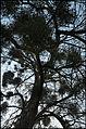 European mistletoe on poplar Citadelle Vauban de Lille (Lamiot 2014) 3902.JPG