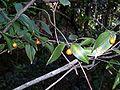 Eustrephus latifolius Barrenjoey.JPG