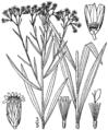 Euthamia graminifolia BB-1913.png