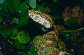 Eyelash Viper (Bothriechis schlegelii) female (captive specimen) (14640939220).jpg