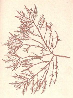 Gelidium corneum     Wikip  dia