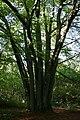 Fagus sylvatica - Roly 1.JPG