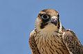 Falco biarmicus, Mauritania 2.jpg