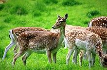 fallow deer wikipedia