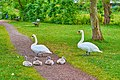 Family of swans at the Kuehensee coast Ratzeburg SG Germany.jpg