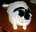 Fat cat.jpg