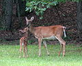 Fawn and Doe kissing at Hanging Rock State Park.jpg