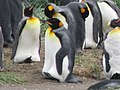 Feet up to hold egg King Penguin Colony Tierra del Fuego Chile.jpg