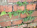 Ferns on brick-wall in the north-west of Germany 02.jpg
