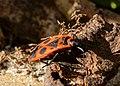 Feuerwanze (Pyrrhocoris apterus) jh02.jpg