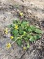 Ficaria calthifolia sl46.jpg