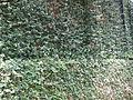 Ficus Pumila - മതിൽപറ്റി 03.JPG