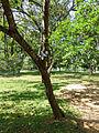Ficus krishnae-Jardin botanique de Kandy (2).jpg