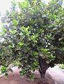 Ficus lyrata kz1.JPG