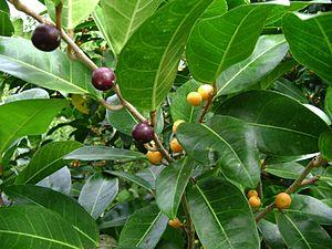 Ficus tinctoria - Image: Ficus tinctoria