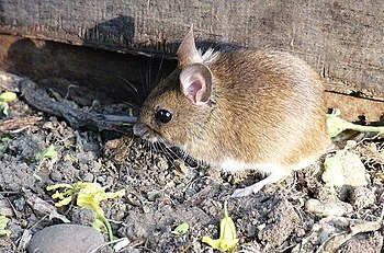 English: Field mouse at bay Collected up in so...