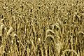 Field of Wheat (940538885).jpg