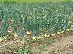 Field with onions.jpg