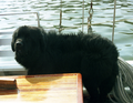 Finnegan the Newfoundlander.png