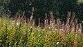 Fireweed (Chamaenerion angustifolium) - Oslo, Norway 2020-08-15.jpg