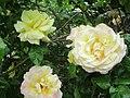 Fleurs Madame Meilland.jpg