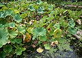 Flickr - brewbooks - Water garden, Lotusland.jpg