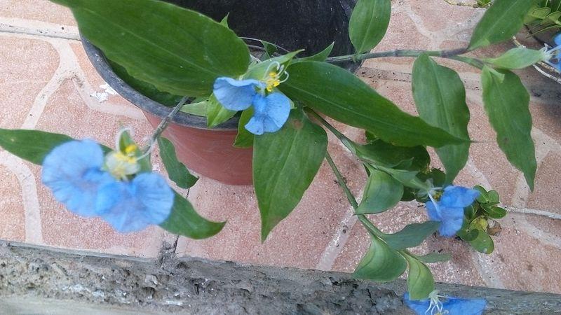 File:Flor azul de Yucatán (sirve para limpiar la vista).jpg