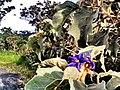Flor do Cerrado 2 - panoramio.jpg