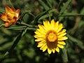 Flora Anamudi shola Kerala IMG 1413.jpg