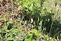 Flora della Sardegna 112 (01).jpg
