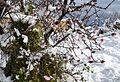 Flors d'ametller amb neu, Gata de Gorgos.jpg