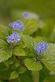 """Flower, Hydrangea """"Koajisai"""" - Flickr - nekonomania.jpg"""