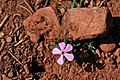 Flower in Kolob Canyons, Walk to the Kolob Arch (Zion National Park) (3439827487).jpg