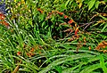 Flower species on sri pada.jpg