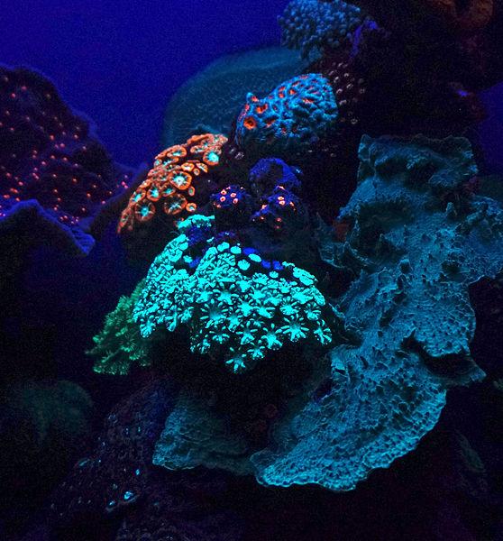 File:Fluorescent coral.jpg