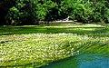 Flutender Wasserhahnenfuß (Ranunculus fluitans).jpg