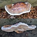 Fomitopsis pinicola (Red Belt Conk or Red-belted Bracket, D= Rotrandiger Baumschwamm, NL= Roodgerande houtzwam. A stil young one, top and sideview at Oud Reemst Arnhem-Ede. Lateron it becames an enormous size. See desc - panoramio.jpg
