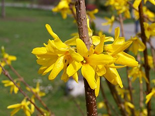 Have-Forsythia (Forsythia x intermedia) Foto: Jan Mehlich.