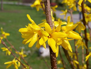 Have-Forsythia (Forsythia x intermedia)Foto: Jan Mehlich.