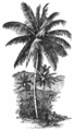 Fotg cocoa d031 the coco nut palm.png