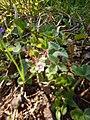 Fragaria vesca familia (Rosaceae) 02.jpg