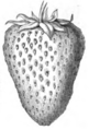 Fraise Marguerite Vilmorin-Andrieux 1883.png
