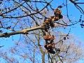 Fraxinus excelsior Jesion wyniosły 2020-04-19 01.jpg
