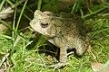 Frog (259456673).jpeg