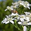 Frostweed (Verbesina virginica) (6336284185).jpg